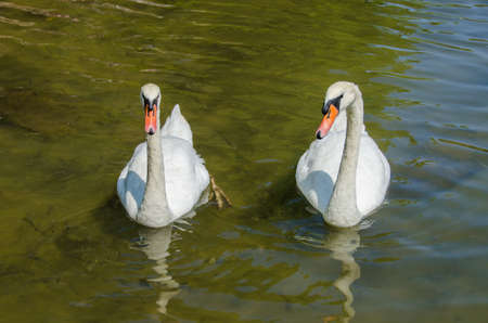 White ducks on a green water background