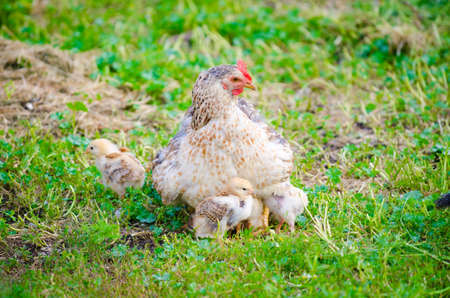 White chicken protecting her chicks on a sunny summer day on the freshly cut green grass suggesting natural grown animals Stock Photo