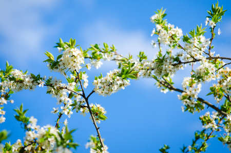 polen: Beautiful white plum tree flowers blossoming on a sunny spring day on branches with fresh green leafs and a vivid blue sky