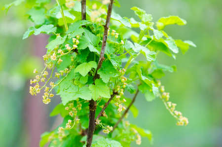 shurb: Red currant fresh during spring on a branch with green leafs suggesting healthy fruit plantation