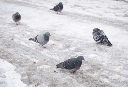 pidgeon: Pidgeons on an icy cold freezing winter day with snow and frost all around