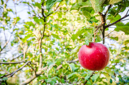 Red apple hanging on a branch with green leafs on the background on a sunny summer day in a close view