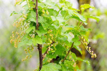 shurb: Red currant bunches on branches during a sunny spring day with green vibrant colorful leafs suggesting fruit shrub cultivation on a plantation for natural healthy food