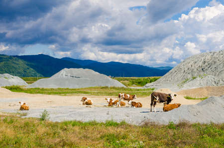 Cows grazing on a gravel and sand material deposit site for construction with green mountains and a blue sky