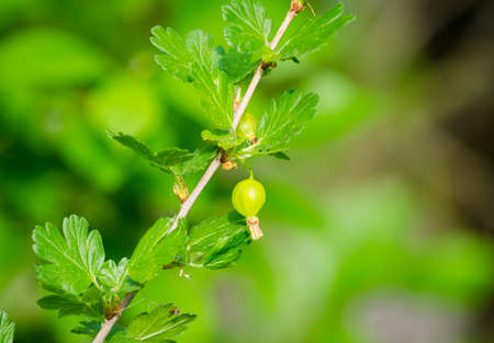 Green gooseberry on a branch with leafs on a sunny spring day in a close view suggesting healthy fruit