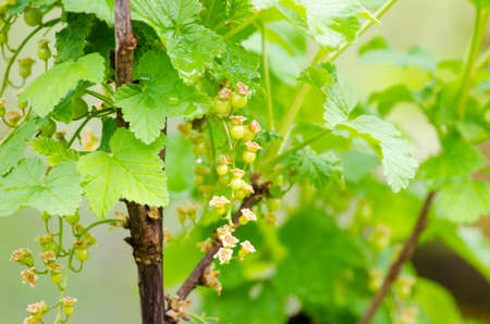 Currant bunch on a green leaf branch during a sunny spring day suggesting healthy natural fruit Stock Photo