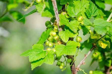 suggesting: Unripe currant on a branch with a fresh green look and leafs suggesting spring fruits