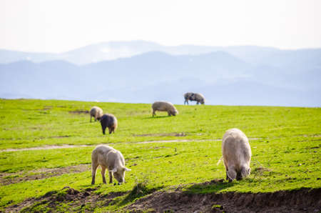 suggesting: Healthy grown pigs eating fresh green grass on a sunny spring day with the mountains on the background suggesting home grown ecological organic domestic animals