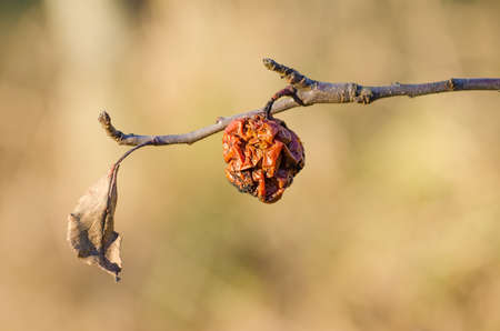 days gone by: An old rotten apple hanging on a branch woth a dried up leaf on a late autumn day Stock Photo