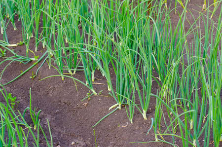 home grown: Onion patch in a rural garden with fertile soil suggesting organic home grown healthy vegetables