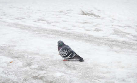 Pidgeon on frozen snow during winter time looking at you Stock Photo