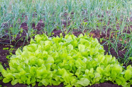 home grown: Lettuce patch naturaly grown with an onion patch on the background in a rural garden suggesting home grown organic vegetables with a fresh green look Stock Photo