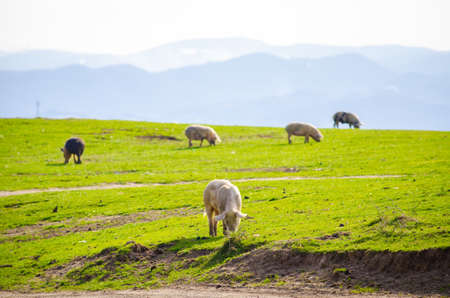graze: Pigs eating grass at the countryside on a dirty field with fresh green vibrant grass and one pig in focus suggesting natural grown domestic animals with healthy lifestyle