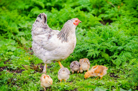 Hen with her small cute baby chicks on fresh green grass suggesting natural organic home grown birds