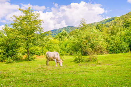 contrasty: Cow grazing on fresh green grass with woods on the background on a sunny summer day with a blue cloudy sky and idillyc vivid contrasty colors Stock Photo