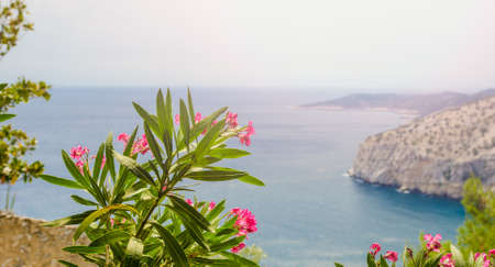 Pink oleander flowers blooming and blossoming above a greek blue ocean water bay with the rocky Thassos island on the right on a beautiful sunny summer day