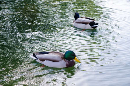two ducks: Two ducks swimming in a circle on a lake