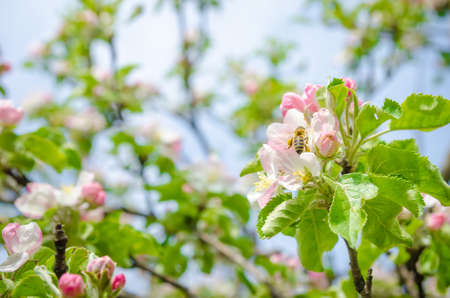 Bee pollinating a white and pink apple flower in a close screen with bright sun light with branches and green leafs on the background