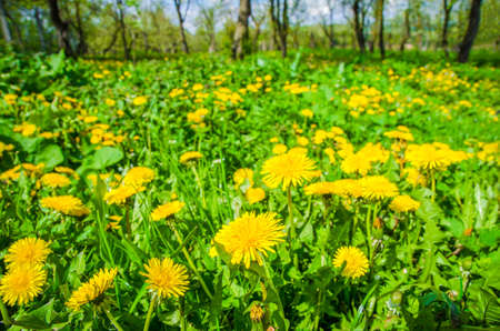 Dandelions in a rural garden on a sunny spring day with fresh green grass