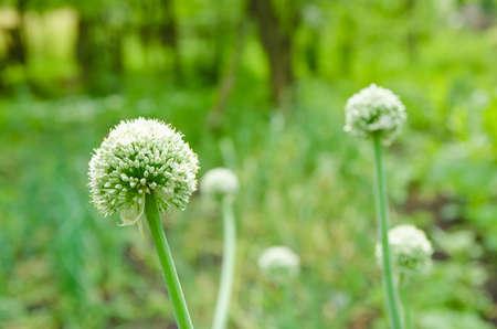 onion flowers: Fresh green onion flowers in a rural green garden