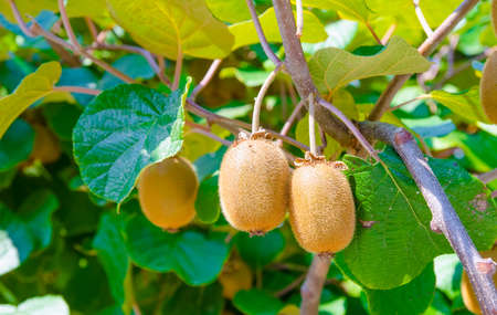 A bunch of exotic tropical kiwi fruits hanging from a plant on a sunny summer day