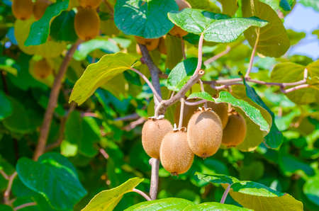 A bunch of kiwi fruits hanging from a branch with grean leafs on a sunny summer day Stock Photo
