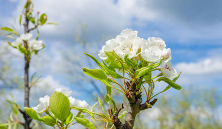 Spring white pear flowers with a blue cloudy sky and green leafs Stock Photo