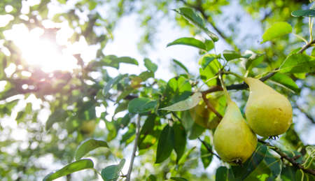 Pears on a branch with grean leaves on a sunny day