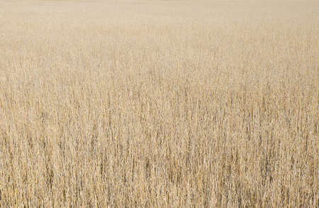 Reed field texture background in a reservation with a warm look Stock Photo