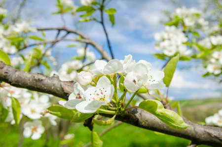 Pear flowers on a branch with lots of white flowers on the background and a blue cloudy spring sky with vibrant colors
