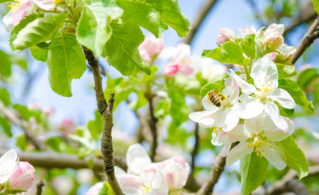 pear tree: Bee pollinating a white apple tree flower with grean leafs  around on a sunny warm optimistic day
