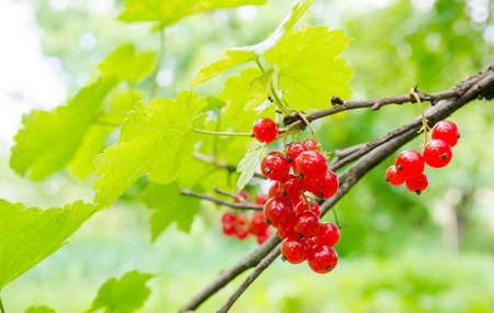 Red currant on a branch with grean leafs on a sunny summer day