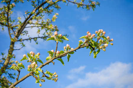 Blossoming cherry  flowers on a branch  during sporing on a blue sky background