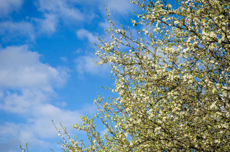 plum tree: Plum tree flowers on a barely green branch with a blue cloudy sky looking like a tree versus sky scene