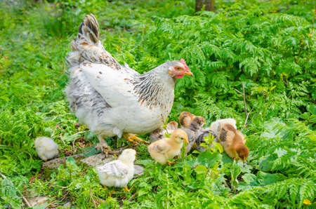 Small cute chicks  with the hen pecking in a rural yard with green grass and bushes