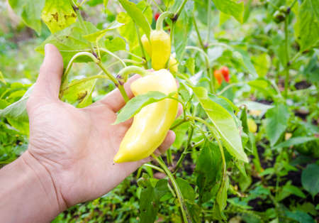 A farmer hand holding fresh yellow peppers in the garden with green leafs suggesting organic home grown rural vegetables