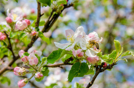 Bee polenizing apple flowers on a sunny spring day