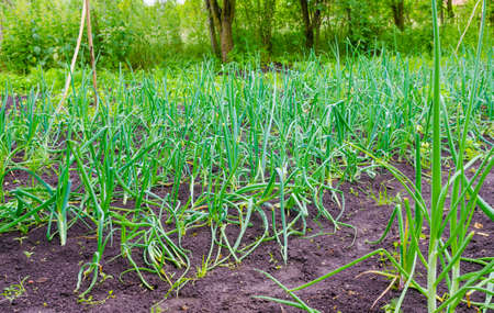 suggesting: Onion patches in a rural garden with a fresh green look on a summer day suggesting healthy bio food and nutrition