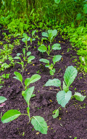 Young fresh green cabbage patch in a traditional rural garden with a wet ecological look suggesting healthy nutrition