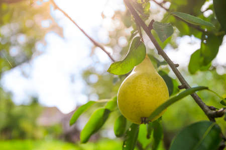 suggesting: Ripe juicy sweet yellow pear hanging on a branch with green leafs and a sunny bright background suggesting healthy organic fruit with soft filters and effects aplied Stock Photo