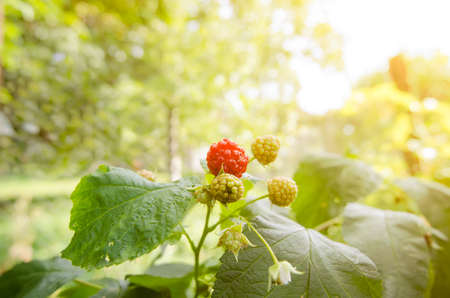 Fresh ripe rasberries on a branch with green leafs on a sunny summer day with bright sun light on the background suggesting organic berries Stock Photo
