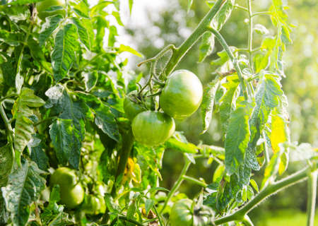 Raw unripe green tomatoes on a branch with fresh leafs on a sunny summer day with bright light and sun rays suggesting organic vegetables in the rural garden with soft filters Stock Photo