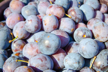 Plums freshly picked with a blue purple look on a sunny summer day suggesting fresh healthy fruit