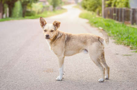 Cute sweet half breed dog on a rural road in a village looking at the camera with sunrays on the background and a warm light