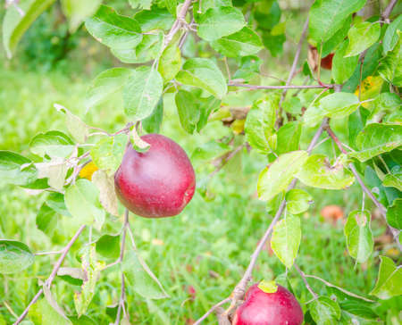 Starkrimson apples hanging in a tree with fresh green leafs and a juicy sweet red, bright sunny look suggesting organic healthy nutritious fruit