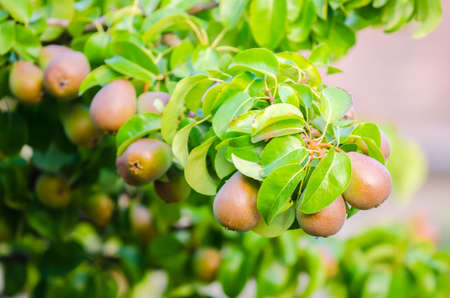 suggesting: Bunch of ripe pears hanging on a branch with fresh green leafs on a sunny summer day suggesting natural healthy organic fruit Stock Photo