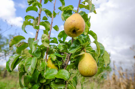 Ripe yellow fresh pears hanging on a tree with leafs on a mixt sunny and cloudy day with an organic juicy look suggesting rural grown fruit Stock Photo