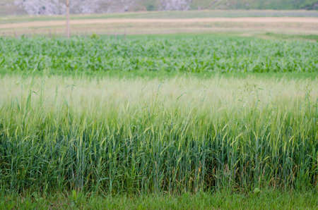 Wheat field in a side view with various other types of agricultural cultures on the background suggesting multiple types of foods Stock Photo