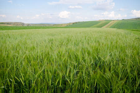Wheat field with a fresh green look and farmland landscape on the background with a fresh blue cloudy sky suggesting organic crops