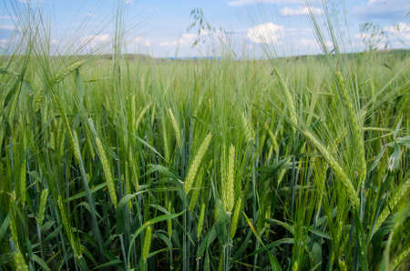 Close view of fresh green raw wheat on rural farmland with a blue sky suggesting healthy organic natural grown crops